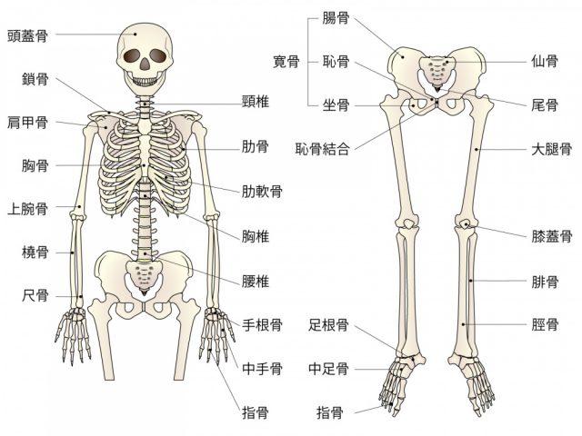 骨格のイラスト