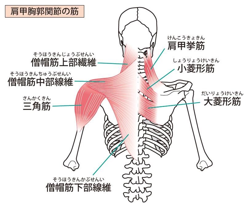 肩周りの筋肉のイラスト