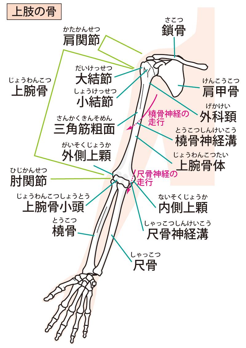 腕周りの骨格の写真