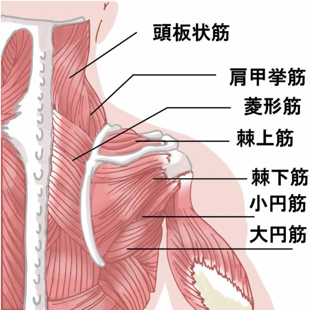 肩周辺の筋肉イラスト