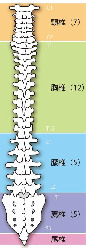背骨の説明イラスト