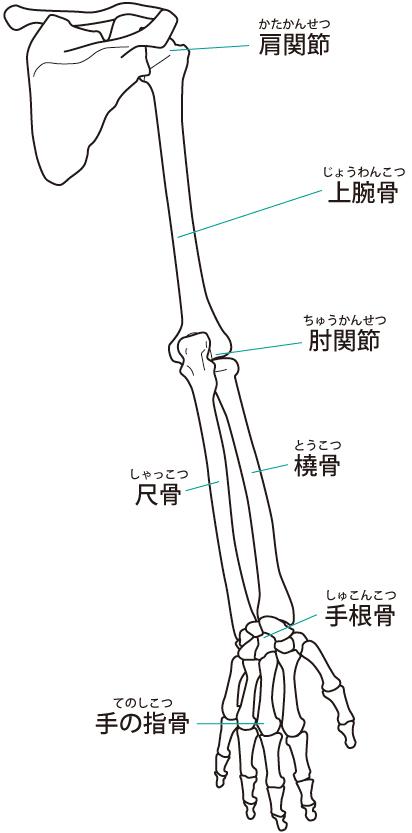 肩から指先までの骨格イラスト