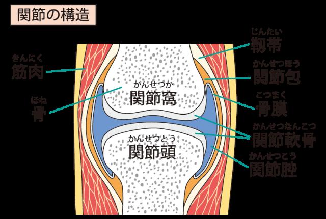 関節の構造イラスト