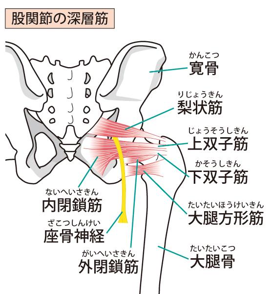 股関節の骨格イラスト